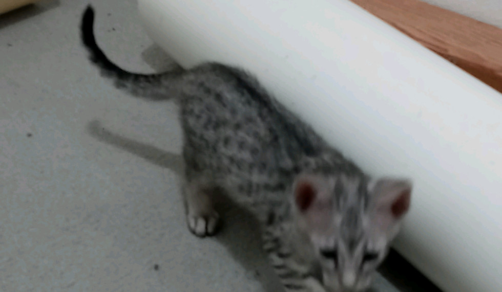Galaxy F5 SBT Savannah Kitten
