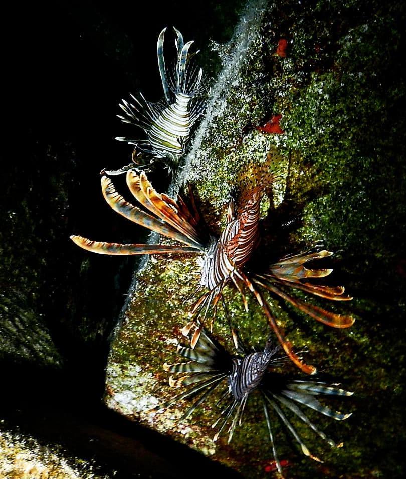 Lionfish - Λεοντόψαρο