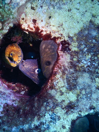 Red Sea moray with Mediterranean moray