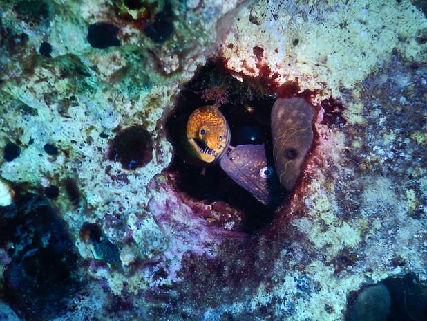 Red Sea moray with Mediterranean moray