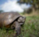 gopher tortoise stock.jpeg