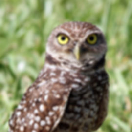 owl stock.jpeg