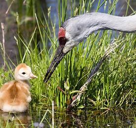 crane and baby stock.jpeg