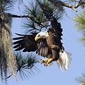 eagle to nest stock.jpeg