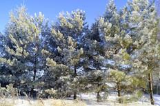 Голубые ели в Лазурном.