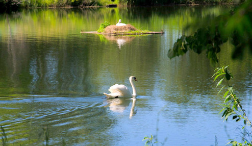 Ушаковский пруд - Лебеди.jpg