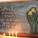 Daffodil from Music Unfolds