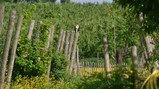 A Permaculture Vineyard in Flanders