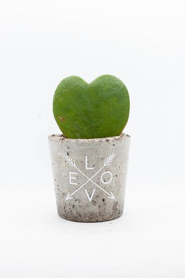 Hoya Kerrii Heart