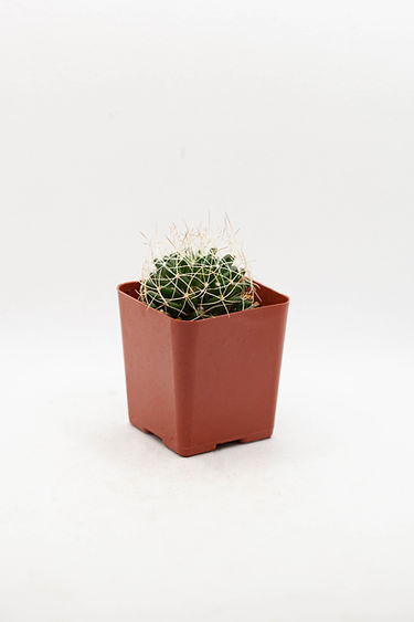 Scarlet Hedgehog Cactus