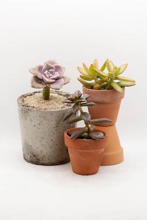 Graptopetalum Variety