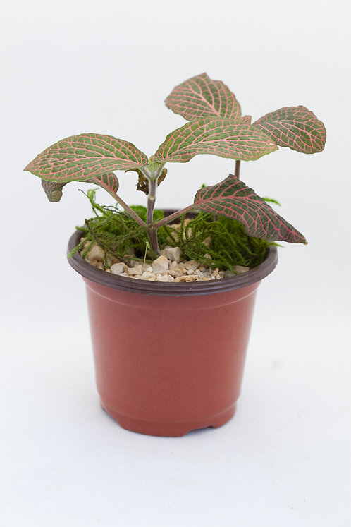 Red Nerve Fittonia