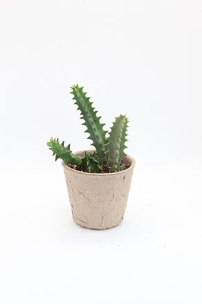 Lifesaver Plant