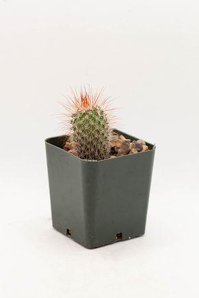 Spiny Pincushion Cactus