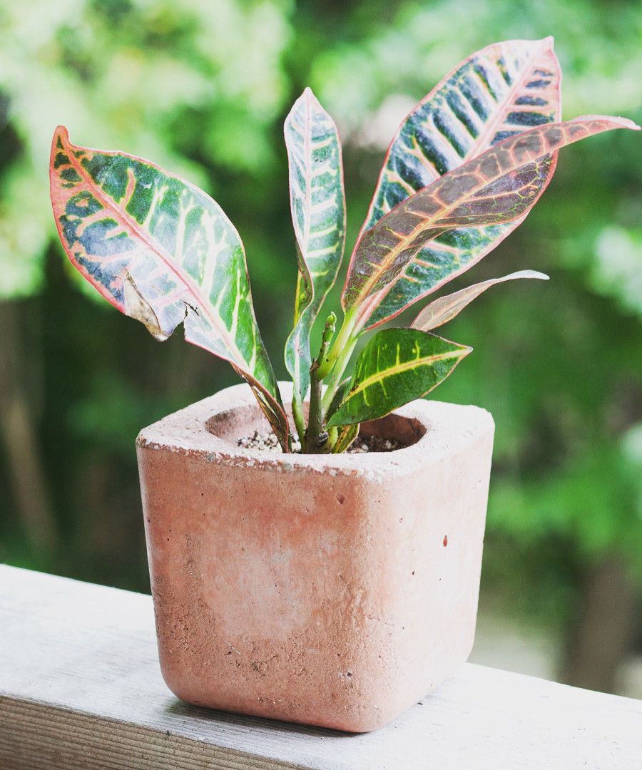 We know it's not Valentine's Day but how about this croton to dote on? ;-) . DM us for inquiries or to place an order. We have pots and kits ready to be shipped right to your door! #plantlove #plantlover #cementpots #croton #dote #plantdelivery #plants #plantsofinstagram #homedecor #plantsplantsplants #waterwednesday #plantsmakepeoplehappy #plantsarefriends #plantlife #wewaterwednesday