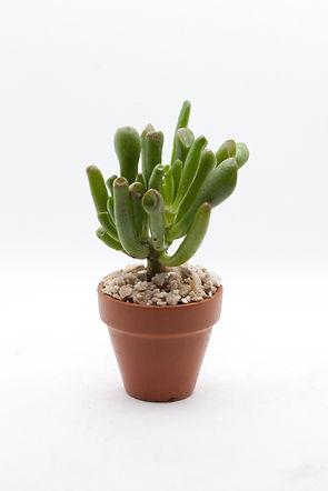 Gollum Jade Succulent