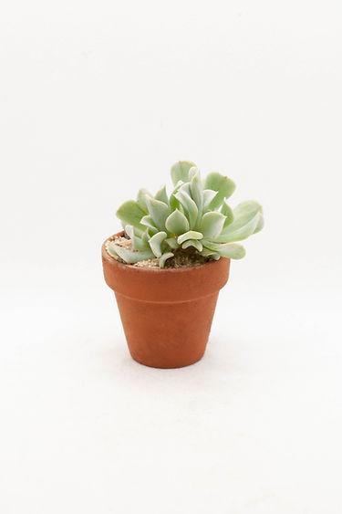 Topsy Turvey Succulent
