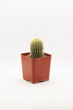 Lemon Ball Cactus
