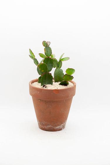 Easter Cactus