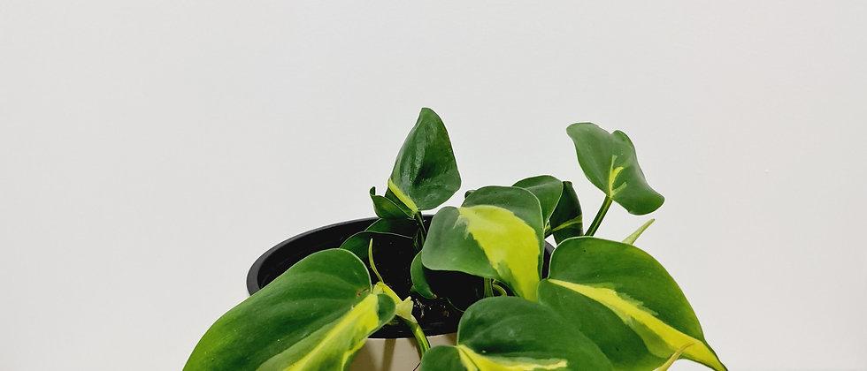Philodendron Brasil - 14cm