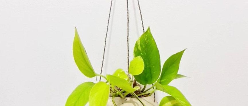 Coconut Plant Hanger
