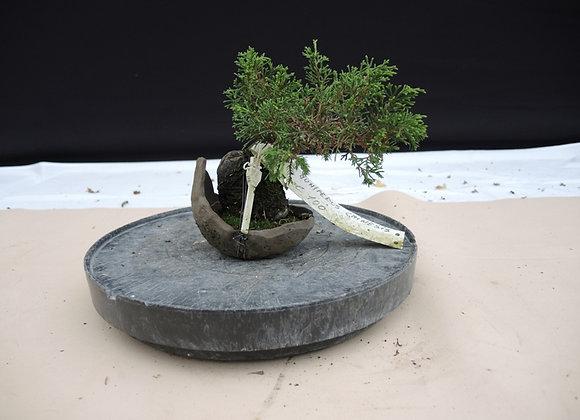 153 - Juniperus Chinesis
