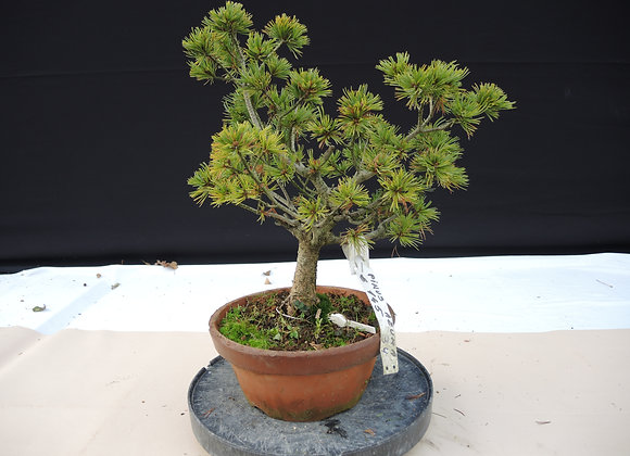 334 - Pinus Azuma