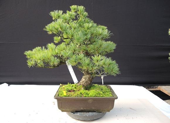 452 - Pinus Parviflora