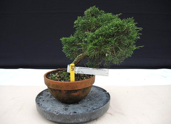 421 - Juniperus Chinensis