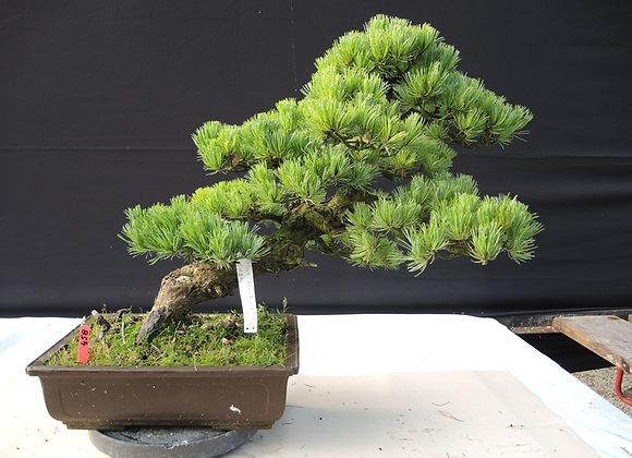 458 - Pinus Parviflora