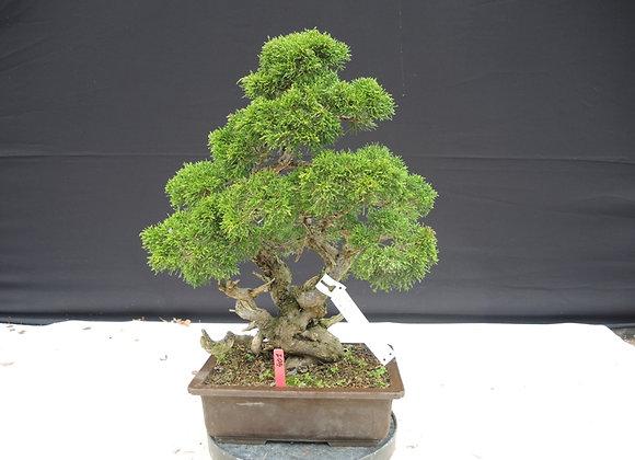 401 - Juniperus Chinensis