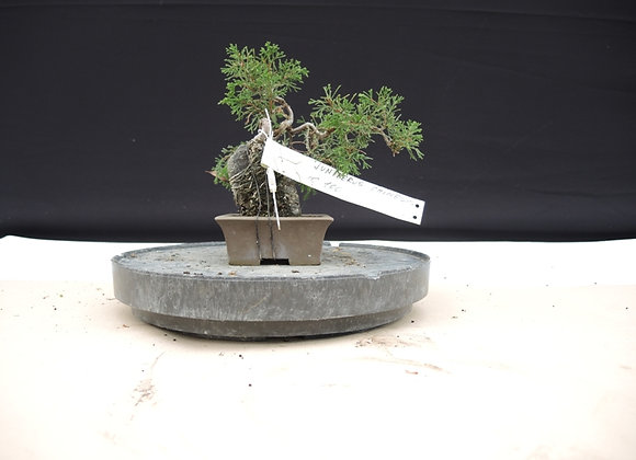 182 - Juniperus Chinensis