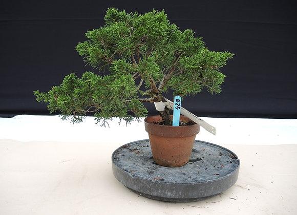 429 - Juniperus Chinensis