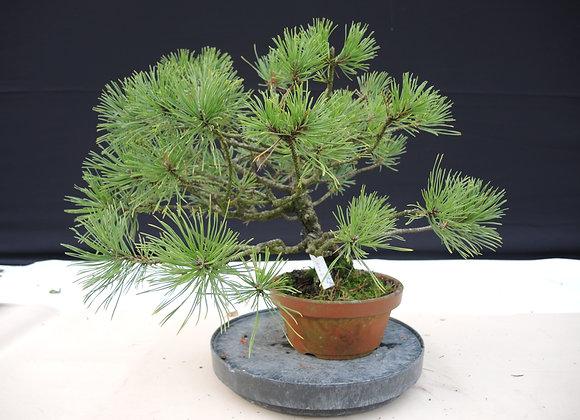 327 - Pinus Azuma