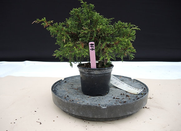 414 - Juniperus Chinensis