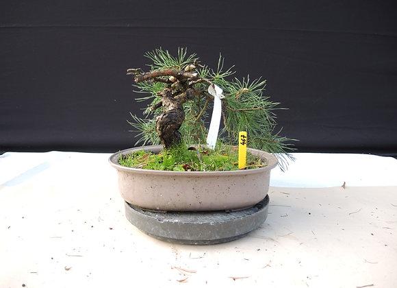 467 - Pinus Sylvestris