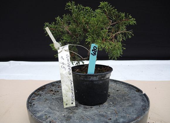 420 - Juniperus Chinensis