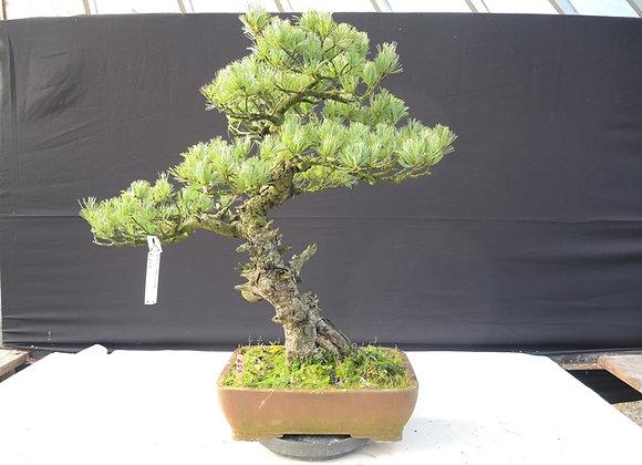 459 - Pinus Parviflora