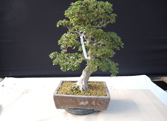 62 - Satsuki Azalea Kegon