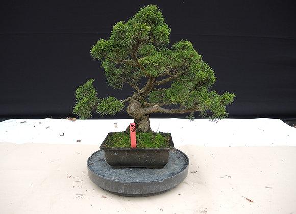 405 - Juniperus Chinensis