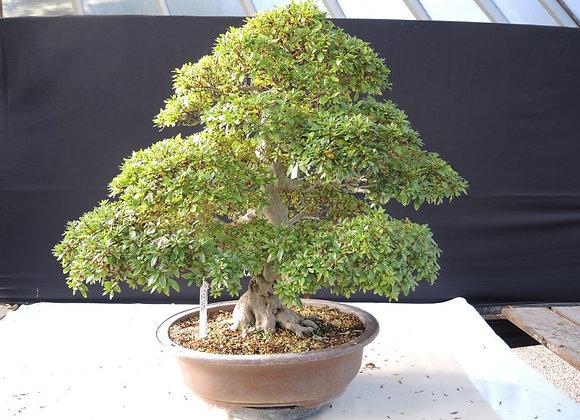 26 - Satsuki Azalea