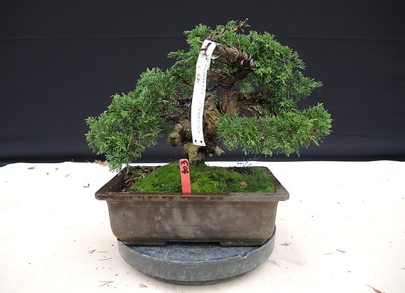 403 - Juniperus Chinensis