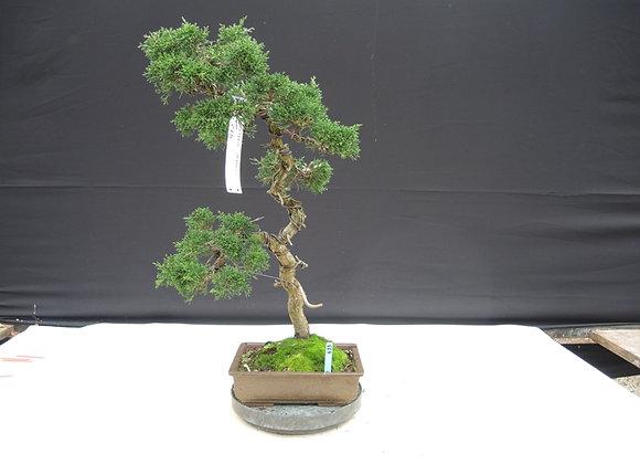 433 - Juniperus Chinensis