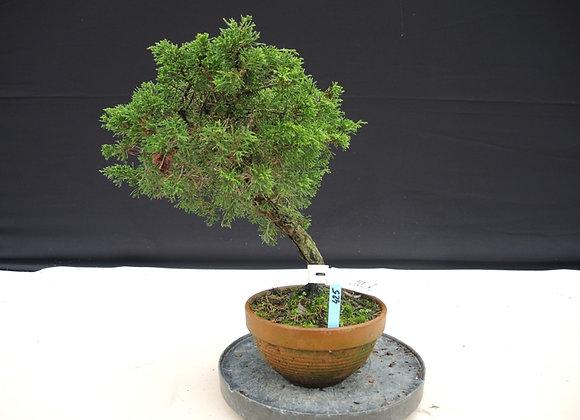 425 - Juniperus Chinensis
