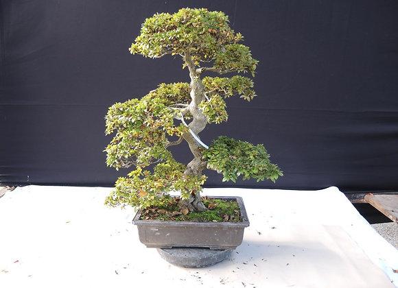 36 - Satsuki Azalea