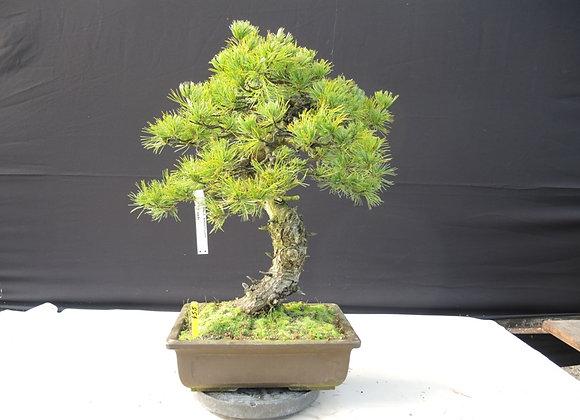 455 - Pinus Parviflora