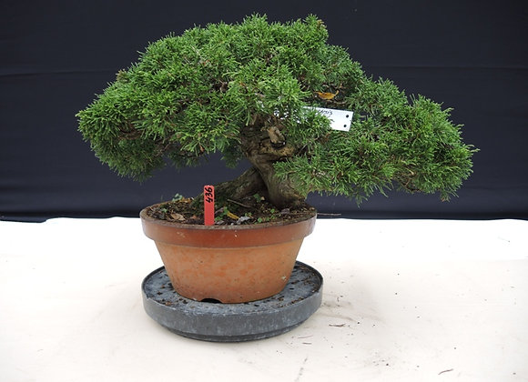 436 - Juniperus Chinensis