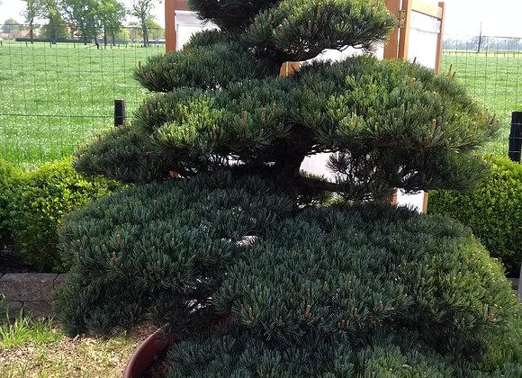 601 - Pinus Parviflora