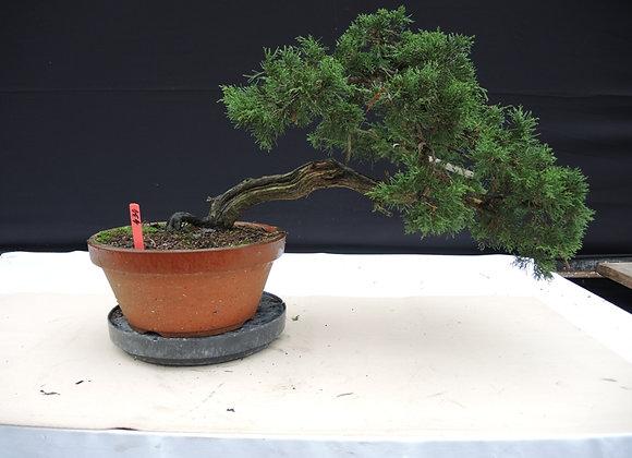 434 - Juniperus Chinensis