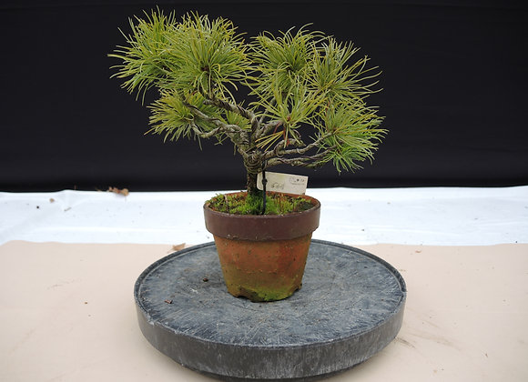 310 - Pinus Azuma